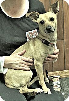 Chihuahua Mix Dog for adoption in Tavares, Florida - Zeus