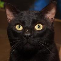 Adopt A Pet :: Socks - St. Catharines, ON
