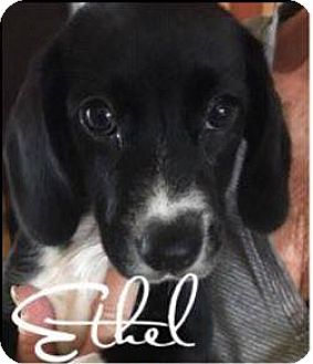 Beagle Mix Puppy for adoption in WESTMINSTER, Maryland - Ethel