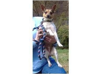 Rat Terrier/Jack Russell Terrier Mix Dog for adoption in Huntingdon, Pennsylvania - Bucky