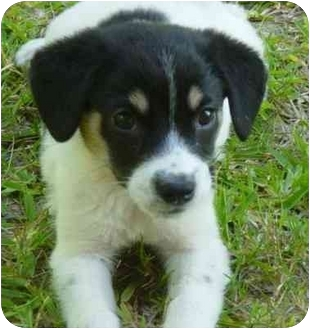 Beagle/Border Collie Mix Puppy for adoption in Houston, Texas - Jenna