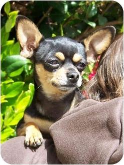 Chihuahua Mix Dog for adoption in El Segundo, California - Sam