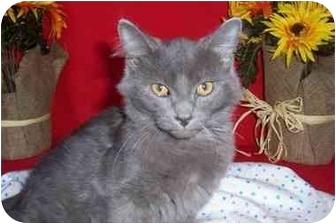 Maine Coon Kitten for adoption in Taylor Mill, Kentucky - Yuri