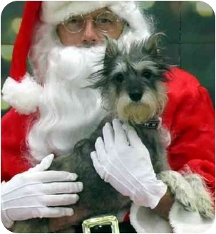 Schnauzer (Miniature) Mix Dog for adoption in Overland Park, Kansas - Cissy