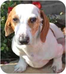 Dachshund Dog for adoption in Tahlequah, Oklahoma - Oscar