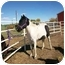 Photo 2 - Paint/Pinto Mix for adoption in Pueblo, Colorado - Whisper