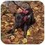 Photo 1 - American Bulldog/Labrador Retriever Mix Puppy for adoption in Naugatuck, Connecticut - Simba