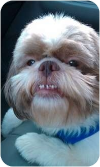 Shih Tzu Dog for adoption in Warsaw, Indiana - Oliver