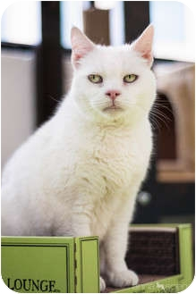 Domestic Shorthair Cat for adoption in Portland, Oregon - Jolie