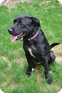 Labrador Retriever Mix Dog for adoption in Lewisville, Indiana - Tori