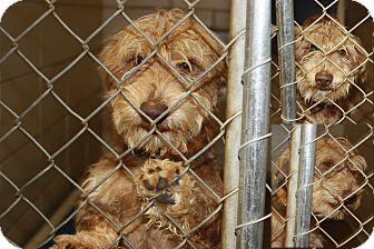 "Miniature Schnauzer/Dachshund Mix Dog for adoption in Haughton, Louisiana - BCAC ""Scooby Doo"""