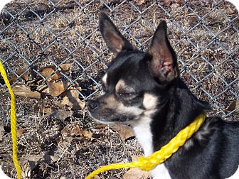 Chihuahua Dog for adoption in Sterling, Colorado - Charcoal