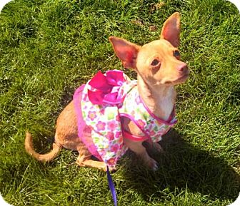 Chihuahua Mix Puppy for adoption in Seattle, Washington - April