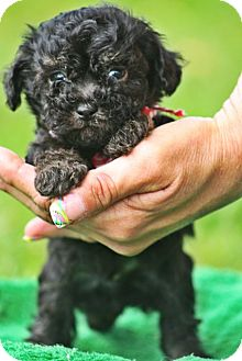 Yorkie, Yorkshire Terrier Mix Puppy for adoption in Cranford, New Jersey - Yorkie Puppies