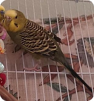 Budgie for adoption in Lenexa, Kansas - Sprout