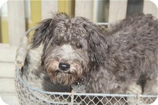 Poodle (Miniature)/Schnauzer (Miniature) Mix Dog for adoption in Woonsocket, Rhode Island - Pickford - meet him
