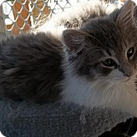 Adopt A Pet :: Big Boy - Acme, PA