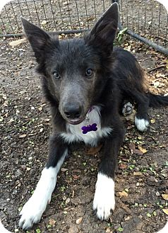 Border Collie Mix Dog for adoption in Wimberley, Texas - Vioet