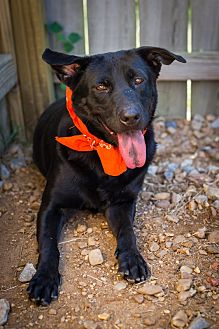 Labrador Retriever Dog for adoption in Jackson, Mississippi - Jordin Sparks