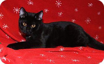 Bombay Cat for adoption in Orland Park, Illinois - Monkey