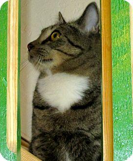 Domestic Shorthair Cat for adoption in Buhl, Idaho - DeeCee