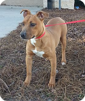 American Staffordshire Terrier/Pit Bull Terrier Mix Puppy for adoption in Lawrenceville, Georgia - Tiffy