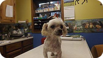 Maltese Dog for adoption in Columbus, Kansas - Coconut