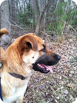 German Shepherd Dog/Labrador Retriever Mix Dog for adoption in Albemarle, North Carolina - Scout