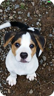 Corgi/Beagle Mix Puppy for adoption in Cranford, New Jersey - Ellie