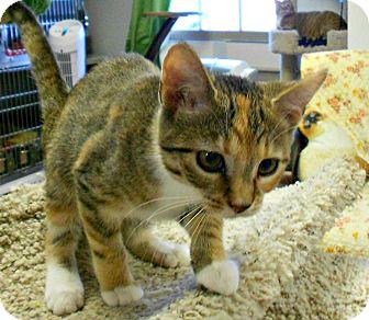 Domestic Shorthair Kitten for adoption in Chesapeake, Virginia - Hazel