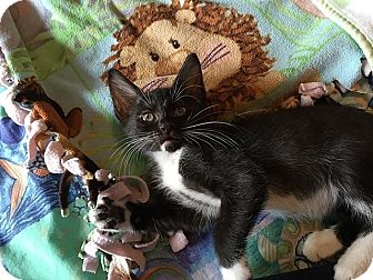 Domestic Shorthair Kitten for adoption in Tampa, Florida - Anna Nicole