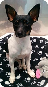 Rat Terrier Mix Dog for adoption in Ft Myers Beach, Florida - Say Hello to Swivel