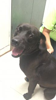 Australian Cattle Dog/Labrador Retriever Mix Dog for adoption in Monroe, Michigan - Mojo