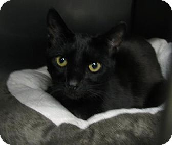 Domestic Shorthair Cat for adoption in Voorhees, New Jersey - Carl