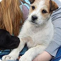 Adopt A Pet :: Petey (12 lb) - SUSSEX, NJ