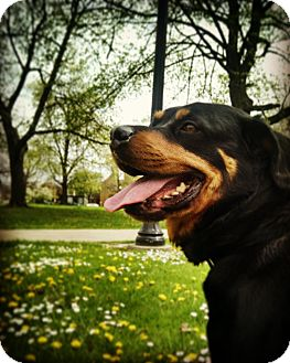 Rottweiler Mix Dog for adoption in Columbus, Ohio - Jane~COURTESY POST~