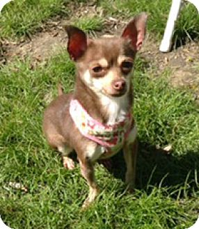 Chihuahua Dog for adoption in Milton, Massachusetts - Coco