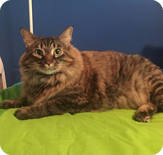 Maine Coon Cat for adoption in Mount Pleasant, South Carolina - Daisee