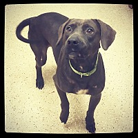 Labrador Retriever Mix Dog for adoption in Grand Bay, Alabama - Alexis *Courtesy Listing*