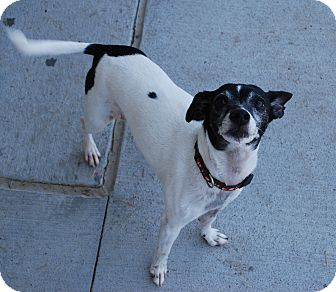 Rat Terrier Dog for adoption in Council Bluffs, Iowa - Jazzi (Rico)