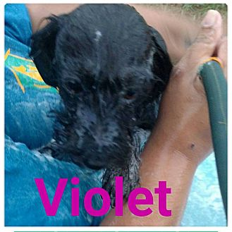 Terrier (Unknown Type, Medium) Mix Puppy for adoption in Huntington, Indiana - Violet
