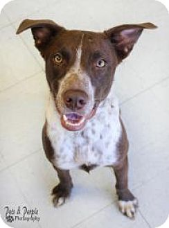 German Shorthaired Pointer/Australian Shepherd Mix Dog for adoption in Yukon, Oklahoma - Winston