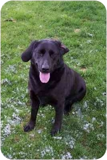 Labrador Retriever Dog for adoption in Provo, Utah - Mana