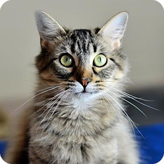 Domestic Mediumhair Cat for adoption in Columbia, Illinois - Gazelle