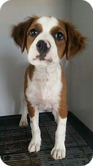 Cavalier King Charles Spaniel Mix Puppy for adoption in Apache Junction, Arizona - Kaya