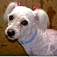 Poodle (Miniature) Mix Dog for adoption in San Diego, California - Beatrice