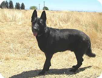 German Shepherd Dog Dog for adoption in Pleasant Grove, California - Grizzly