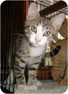 Domestic Shorthair Kitten for adoption in Honesdale, Pennsylvania - Silver