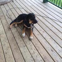Adopt A Pet :: BRUTUS - Spruce Grove, AB