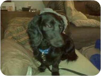 Dachshund Dog for adoption in Jacobus, Pennsylvania - Schultz - PA